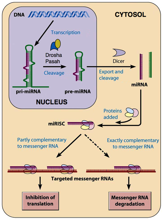 microrna-pathway