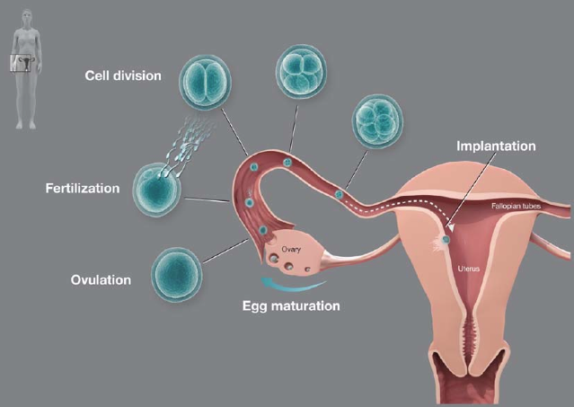 The fertilization process in humans