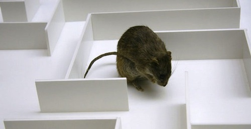 Rat in a maze
