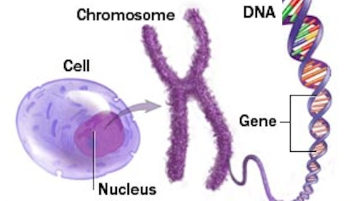 Chomosome to gene to DNA