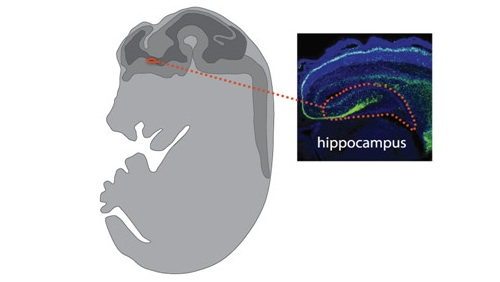 Interneuron cells in the mouse hippocampus