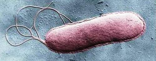 Bacteria with flagellum