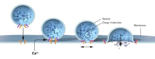 Vesicle fusion