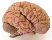 blood-brain-barrier.jpg